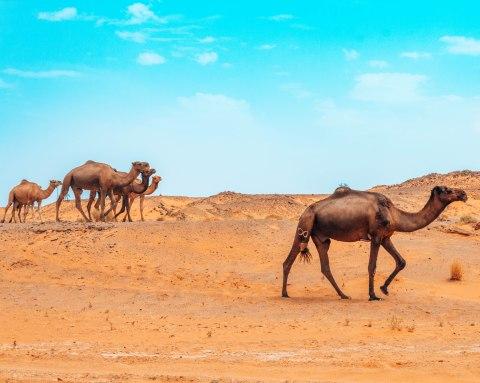 Camels walking through the Sahara desert