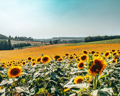 Sunflower field in Gaillac France