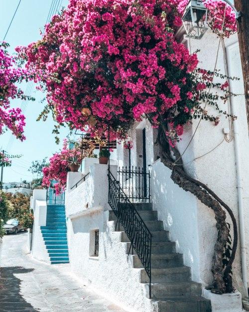 Bougainvillea tree Paros Greece