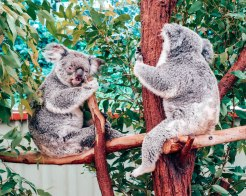 Koalas on the Great Ocean Road Australia